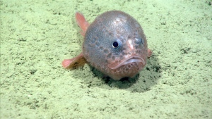 A football fish photographed in the Verrill canyon by a National Oceanic and Atmospheric Administration research ships remotedly operated vessel, off Nova Scotia is seen in an undated photo provided August 31, 2019. Scientists at Canada's major fisheries research centre are watching an underwater livestream with excitement this weekend as two remotely operated vehicles scan the waters off Nova Scotia for rare or unknown species. THE CANADIAN PRESS/HO, DFO