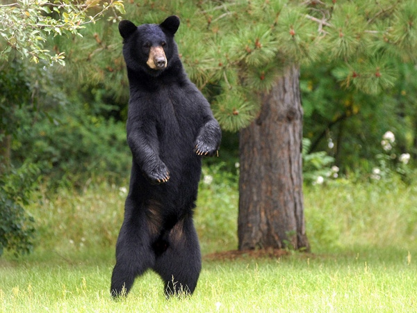 A black bear wanders through a suburban neighbourhood in this file photo. (AP/Steve Kinderman)