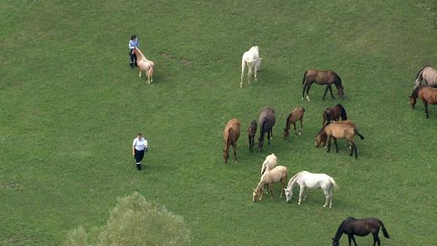 York, horses