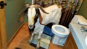 "In this Friday, Oct. 4, 2019 photo, a goat stands in the bathroom of a home in Sullivan Township, Ohio. The goat named ""Big Boy,"" who had escaped from a farm several miles away, was found napping in the bathroom after it broke into the home by ramming through a sliding glass door. (Jenn Keathley via AP)"