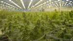 Cannabis plants are seen during a tour of a Hexo Corp. production facility, Thursday, October 11, 2018 in Masson Angers, Que. THE CANADIAN PRESS/Adrian Wyld