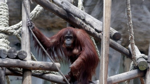 "In this Sept. 16, 2019 photo, the orangutan Sandra looks out from her enclosure at the former city zoo now known as Eco Parque, in Buenos Aires, Argentina. In 2015 Argentine judge Elena Liberatori ruled that Sandra was legally not an animal but a ""non-human person,"" turning the orangutan who has only known limited concrete enclosures into the focus of world attention. (AP Photo/Natacha Pisarenko)"