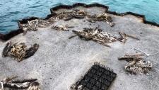 Dead seabirds