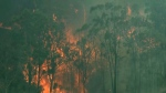 In this image made from video, forest trees are on fire in Hillville, New South Wales state, Australia, Wednesday, Nov. 13, 2019. (Australian Broadcasting Corporation via AP)