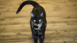FILE - This Thursday, Oct. 5, 2017 photo shows Shelley, an adopted cat, at its new home in Philadelphia.  A cat who has been missing for five years in Portland, Oregon, has been found in Santa Fe, New Mexico(AP Photo/Matt Rourke)