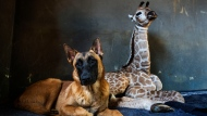 Hunter, a young Belgian Malinois, keeps an eye on Jazz, a nine-day-old giraffe, at the Rhino orphanage in the Limpopo province of South Africa, Friday Nov. 22 2019. Jazz, who was brought in after being abandoned by her mother at birth, is being taken care of and fed at the orphanage some three hours North of Johannesburg, and has been befriended by Hunter and its sibling Duke. (AP Photo/Denis Farrell)