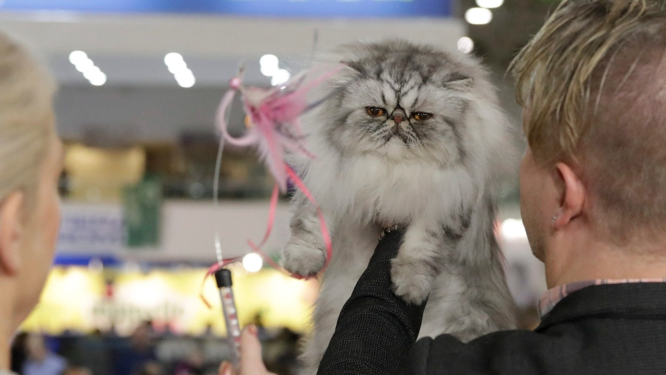 A judge observes a cat, during a cat show in Rome, Saturday, Nov. 16, 2019. (AP Photo/Alessandra Tarantino)