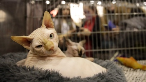 Jarret, a Sphinx cat, sits in its cage during a cat show in Rome, Saturday, Nov. 16, 2019. (AP Photo/Alessandra Tarantino)