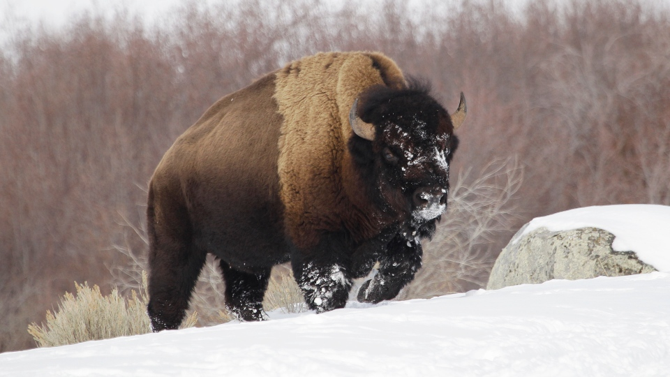 In this Feb. 12, 2011 file photo a bison from Yellowstone National Park walks through the snow shortly before being shot and killed during a hunt by members of an American Indian tribe, near Gardiner, Mont. (AP Photo/Ted S. Warren, File)