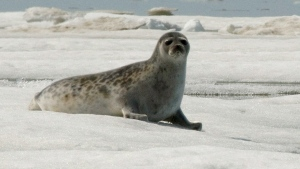 "FILE - This June 5, 2009 file photo released by National Oceanic and Atmospheric Administration shows an adult ringed seal in Kotzebue, Alaska. Scientists attending a national gathering of Arctic researchers are outlining a widening range of climate change risks for ""sentinel"" species like ringed seals and beluga whales that have sustained Inuit for millenia. THE CANADIAN PRESS/HO-Mike Cameron/NOAA via AP, File)"
