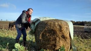 """Johnnie Balfour, the managing director of Balbirnie farm in Cupar, Scotland uncovers hay on Tuesday Dec. 3, 2019. Balfour, who family has operated Balbirnie Farm since 1642, is tired of all the back and forth over independence. He remembers that voters were told ahead of the 2014 vote that this was a """"once in a generation"""" decision _ he doesn't want to revisit it just five years later. (AP Photo/Renee Graham)"""