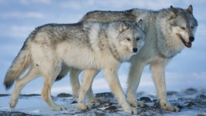 A female wolf, left, and male wolf roam the tundra near The Meadowbank Gold Mine located in the Nunavut Territory of Canada on Wednesday, March 25, 2009. THE CANADIAN PRESS/Nathan Denette