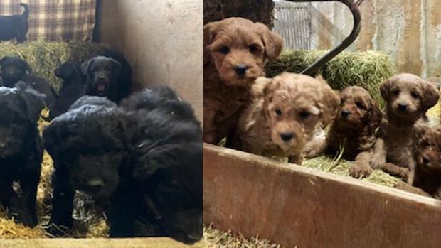 Stolen puppies