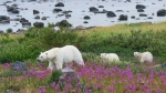 A female polar bear leads her two cubs through a patch of colourful fireweed in a handout photo. During summer, with no sea-ice to hunt on, polar bears in this area are restricted to the shores of Hudson Bay in Canada. THE CANADIAN PRESS/HO-BBC Earth MANDATORY CREDIT