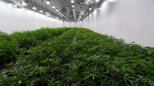 This Aug. 22, 2019 photo shows medical marijuana plants being grown before flowering during a media tour of the Curaleaf medical cannabis cultivation and processing facility in Ravena, N.Y.  THE CANADIAN PRESS/AP-Hans Pennink