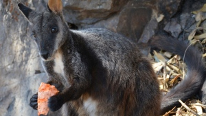 This December 2019 photo provided by Guy Ballard shows a male brush-tailed rock wallaby eating supplementary food researchers provided in the Oxley Wild Rivers National Park in New South Wales, Australia. (Guy Ballard/NSW DPI - UNE via AP)