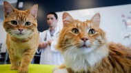 Dr. Daniel Pang, centre, an associate professor at the University of Calgary's Faculty of Veterinary Medicine, and co-author of a new Cat Grimace Scale study, examines Ginger, left, and Barney in Calgary, Alta., Friday, Jan. 17, 2020.THE CANADIAN PRESS/Jeff McIntosh