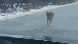 An image of the coyote believed to have attacked multiple people in Kensington, NH, is shown. (Kensington Police/Facebook)