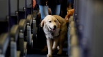 FILE - In this April 1, 2017 file photo, a service dog strolls through the isle inside a United Airlines plane at Newark Liberty International Airport while taking part in a training exercise in Newark, N.J. The government is telling airlines and passengers how it will enforce rules governing animals that people bring on planes.  (AP Photo/Julio Cortez, File)