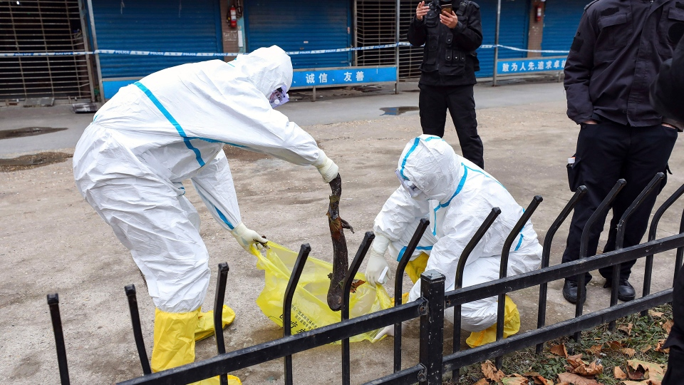 Workers in protective gear catch a giant salamander that was reported to have escaped from the Huanan Seafood Market in Wuhan in central China's Hubei Province, Monday, Jan. 27, 2020. China on Monday expanded sweeping efforts to contain a viral disease by extending the Lunar New Year holiday to keep the public at home and avoid spreading infection. (Chinatopix via AP)