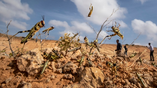 'Where it all begins' for the locusts threatening parts of Africa