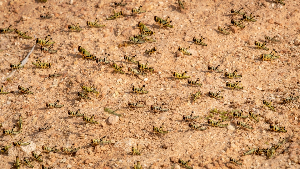 In this photo taken Wednesday, Feb. 5, 2020, young desert locusts that have not yet grown wings cover the ground in the desert near Garowe, in the semi-autonomous Puntland region of Somalia.  (AP Photo/Ben Curtis)