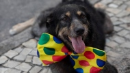 "A dog dressed for carnival attends the ""Blocao"" dog carnival parade along Copacabana beach in Rio de Janeiro, Brazil, Sunday, Feb. 16, 2020. (AP Photo/Silvia Izquierdo)"