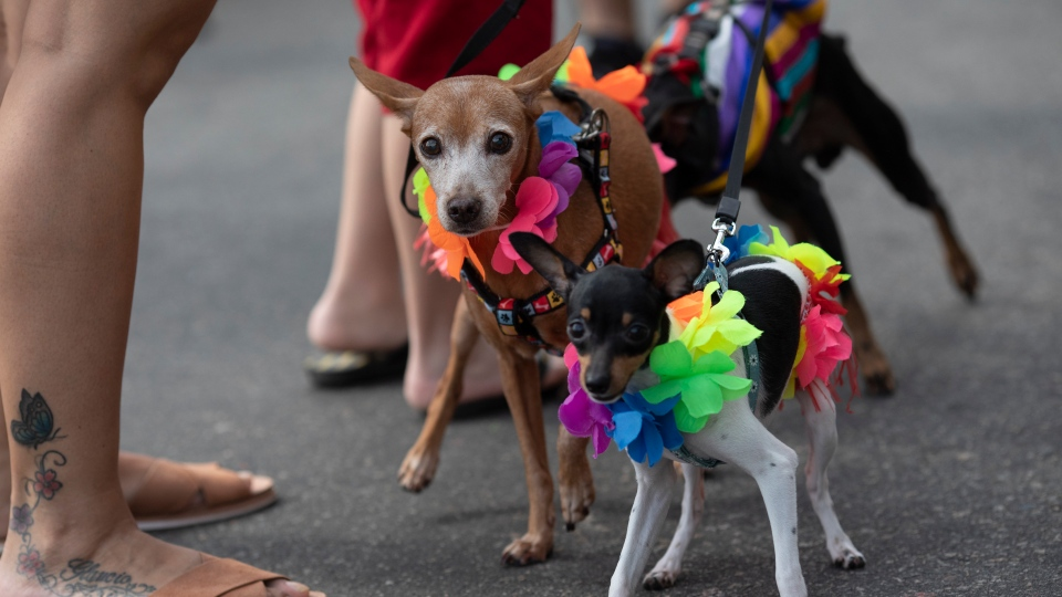 "Dogs dressed for carnival attend the ""Blocao"" dog carnival parade along Copacabana beach in Rio de Janeiro, Sunday, Feb. 16, 2020. (AP Photo/Silvia Izquierdo)"