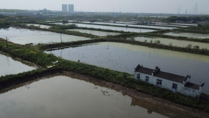 In this Monday, April 6, 2020, photo taken by drone, fields used to grown aquatic tubers known as lotus roots are seen in the Huangpi district of Wuhan in central China's Hubei province. Chinese authorities are easing travel controls after declaring victory over the coronavirus, but flowers and some other crops that are deemed nonessential are withering while farmers wait for permission to move them to markets. Despite a campaign by the communist leadership to revive the economy, the bleak situation in Huangpi, highlights the damage to farmers struggling to keep afloat after the country shut down for two months. (AP Photo/Sam McNeil)
