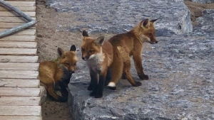 Officials are asking residents not to feed a family of foxes that have been living in The Beaches. (Twitter/Toronto Wildlife Centre)