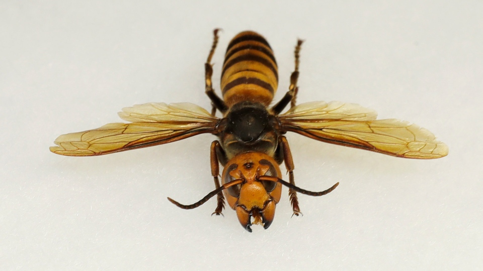 """An Asian giant hornet from Japan is displayed at the Washington state Department of Agriculture, Monday, May 4, 2020, in Olympia, Wash. The insect, which has been found in Washington state, is the world's largest hornet, and has been dubbed the """"Murder Hornet"""" in reference to its appetite for honey bees, and a sting that can be fatal to some people. (AP Photo/Ted S. Warren)"""