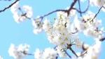 Cherry Blossom Drone