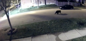 Video from a security camera shows a small bear wandering through a Markham neighbourhood.