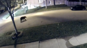Video footage from a security camera shows a black bear wandering through a neighbourhood in Markham.