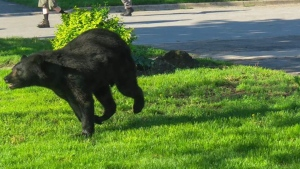 A bear is seen running in Barrie on May 29, 2020. (Sherri Rose/Facebook)