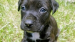 One of two stolen puppies is seen in this image. (Peel Regional Police)