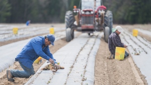 Temporary foreign workers from Mexico plant strawberries on a farm in Mirabel, Que., Wednesday, May 6, 2020, as the COVID-19 pandemic continues in Canada and around the world. THE CANADIAN PRESS/Graham Hughes