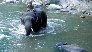 This May 27, 2020 photo shows a 15-year-old pregnant wild elephant floating in Velliyar River moments after it died in Palakkad district of Kerala state, India. Indian police on Friday arrested one person for causing the death of the elephant which chewed a pineapple stuffed with firecrackers that went off in its mouth in southern India. The female elephant couldn't eat because of the injury in its mouth and it died in a river later in a forest in Pallakad area in southern Kerala state on May 27, said a state forest officer, Surendra Kumar. (AP Photo/Rajesh U Krishna)