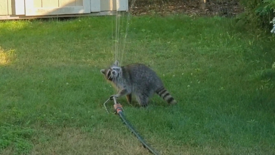 A raccoon is pictured drinking from a lawn sprinkler near Eglinton Avenue and Mount Pleasant Road during a heat wave in this photo captured July 6, 2020. (Courtesy Laura Davis/Gavin Thomson)