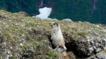 In this Saturday, June 27, 2020 photo Hoary marmots peer out of a hole on Gold Ridge in Juneau, Alaska. A Mongolian teenager contracted bubonic plague after eating meat from a marmot. (AP Photo/Becky Bohrer)