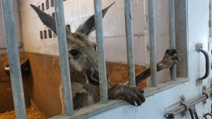 A kangaroo captured by Fort Lauderdale Police in the area of Andrews and Sunrise peers out from a stall at the Mounted Police headquarters, Thursday, July 16, 2020, in Fort Lauderdale, Fla. So far, police have few clues as to the origins of the misplaced marsupial. No one was injured in its capture. (Joe Cavaretta/South Florida Sun-Sentinel via AP)