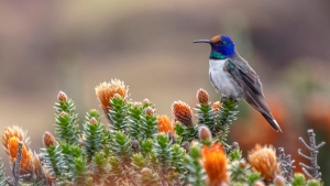 This 2019 photo provided by Paolo David Escobar shows a male Hillstar hummingbird perched on a Chuquiraga jussieui flower in Ecuador. A study released on Friday, July 17, 2020 finds that the species of hummingbirds can sing and hear frequencies beyond the range of other birds. The unusually high-pitched songs may help the birds woo above background noises in their windy, mountain environment. (Paolo David Escobar/Neoselva Photography via AP)