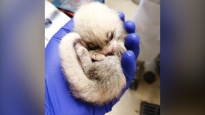 One of the red panda cubs born at the Toronto Zoo last week has died. (Toronto Zoo)