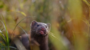 In this Sept. 4, 2015, file photo, a mink sniffs the air as he surveys the river beach in search of food, in meadow near the village of Khatenchitsy, northwest of Minsk, Belarus. Coronavirus outbreaks at mink farms in Spain and the Netherlands have scientists digging into how the animals got infected and if they can spread it to people. (AP Photo/Sergei Grits, File)