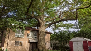 An oak tree estimated to be about 300 years old, or twice as old as modern Canada itself, is seen on July 12, 2020 in North York, Ont. (AFP)