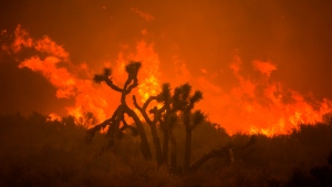 The Bobcat Fire burns behind a Joshua tree in Juniper Hills, Calif., Friday, Sept. 18, 2020. (AP Photo/Ringo H.W. Chiu)