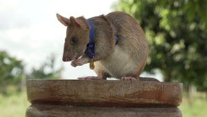 "In this undated photo issued by the PDSA, People's Dispensary for Sick Animals, Cambodian landmine detection rat, Magawa is photographed wearing his PDSA Gold Medal, the animal equivalent of the George Cross, in Siem, Cambodia. A British animal charity has on Friday, Sept. 25, 2020, for the first time awarded its top civilian honor to a rat, recognizing the rodent for his ""lifesaving bravery and devotion"" in searching out unexploded landmines in Cambodia. (PDSA via AP)"