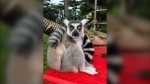 This Dec. 17, 2018, photo provided by the San Francisco Police courtesy of the San Francisco Zoo, shows a missing lemur, named Maki. (Marianne V. Hale/San Francisco Zoo via AP)