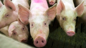 Pigs are seen in this file photo from April, 2009. THE CANADIAN PRESS/Ryan Remiorz