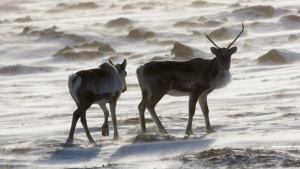Wild caribou roam the tundra near The Meadowbank Gold Mine located in the Nunavut Territory of Canada on March 25, 2009. THE CANADIAN PRESS/Nathan Denette